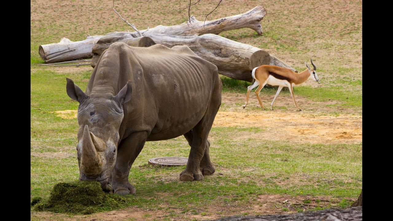 Buzbie the Rhino Tulsa Zoo White Rhino Dies at 37 FOX23