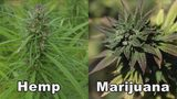 Hemp and marijuana