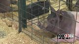 VIDEO: Kids prepare pigs for competitions at Tulsa State Fair
